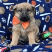 Shepadoodle Puppy For Sale in QUARRYVILLE, PA, USA
