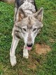 Wolf Hybrid Puppy For Sale in RICHMOND, KY, USA