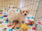 Maltese-Poodle (Toy) Mix Puppy For Sale in TUCSON, Arizona,