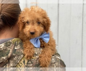 Goldendoodle Puppy for sale in CEDAR LANE, PA, USA
