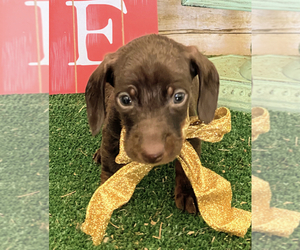 Dachshund Puppy for Sale in ACTON, California USA