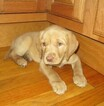 Labrador Retriever Puppy For Sale in BOONVILLE, NY, USA
