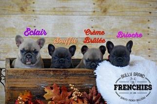 French Bulldog Puppy For Sale in POMPANO BEACH, FL, USA