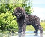 Small #42 Goldendoodle