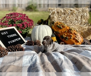 German Shorthaired Pointer Puppy for Sale in CLAYTON, North Carolina USA