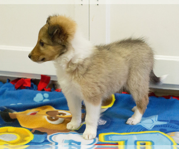 Medium Photo #4 Shetland Sheepdog Puppy For Sale in MILWAUKEE, WI, USA