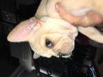 French Bulldog Puppy For Sale in LAS VEGAS, NV