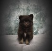 Pomeranian Puppy For Sale in WOODRIDGE, IL, USA