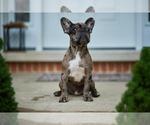 Small #7 French Bulldog