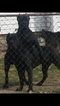 Cane Corso Puppy For Sale in INDIANAPOLIS, IN, USA