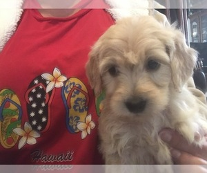 Goldendoodle-Poodle (Standard) Mix Puppy for sale in PARKER, CO, USA