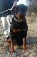 Rottweiler Puppy For Sale in HACKETT, AR