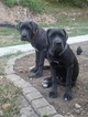 Cane Corso Puppy For Sale in IMPERIAL, MO,