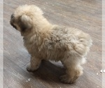 Small Photo #3 Bouvier Des Flandres Puppy For Sale in AMBOY, WA, USA