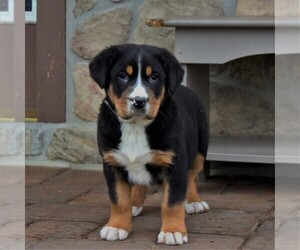 Greater Swiss Mountain Dog Puppy for sale in BIRD IN HAND, PA, USA