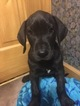 Great Dane Puppy For Sale in MARION, IN, USA