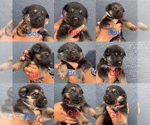 German Shepherd Dog Puppy for Sale in SACRAMENTO, California USA