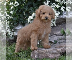 Cockapoo-Poodle (Miniature) Mix Puppy for sale in MILLERSBG, PA, USA