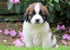 Saint Bernard Puppy For Sale in MOUNT JOY, Pennsylvania,