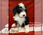 Small #1 Miniature Bernedoodle