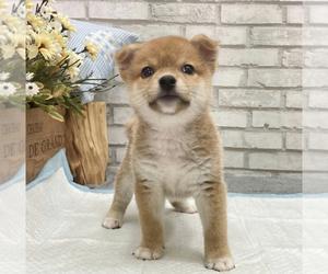 Shiba Inu Puppy for Sale in LOS ANGELES, California USA