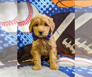 Goldendoodle-Poodle (Miniature) Mix Dog for Adoption in NEW PROVIDENCE, Pennsylvania USA