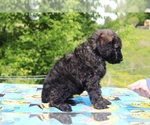 Small #30 Goldendoodle