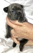 French Bulldog Puppy For Sale in COURTLAND, AL, USA