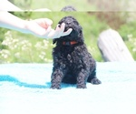 Small #16 Poodle (Standard)