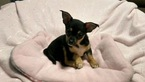 Little Lucy Chihuahua female puppy