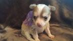 Chihuahua Puppy For Sale in SPOKANE, WA, USA