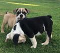 English Bulldogge Puppy For Sale in FRESNO, CA, USA