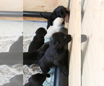 Small Photo #3 Labrador Retriever Puppy For Sale in BOISE, ID, USA