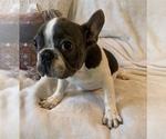 Small #11 French Bulldog