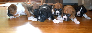 Boxer Puppy for sale in LANCASTER, MA, USA