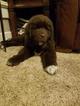 Newfoundland Puppy For Sale in OLLIE, Iowa,