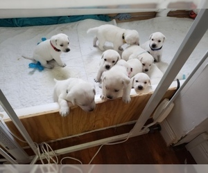 Labrador Retriever Puppy for Sale in NEW LENOX, Illinois USA