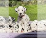 Puppy 1 Dalmatian