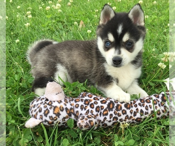 Medium Photo #1 Alaskan Klee Kai Puppy For Sale in WINCHESTER, OH, USA
