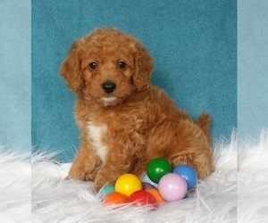 Miniature Labradoodle Puppy for sale in FREDERICKSBG, OH, USA