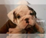 Small #21 English Bulldog