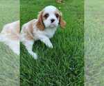 Puppy 5 Cavalier King Charles Spaniel