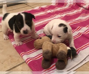 Jack Russell Terrier Puppy for sale in HYGIENE, CO, USA