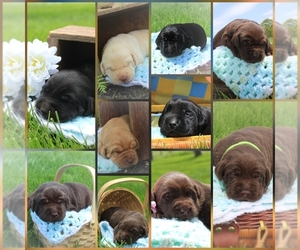 Labrador Retriever Puppy for sale in ELIZABETHTOWN, PA, USA