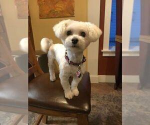 Bichon Frise Puppy for sale in IDAHO FALLS, ID, USA