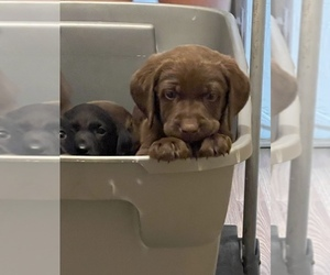 Labrador Retriever Puppy for sale in JUNCTION CITY, OR, USA
