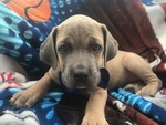 Cane Corso Puppy For Sale in QUARRYVILLE, PA, USA