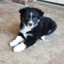 Miniature Australian Shepherd Puppy For Sale in AVERY, Texas,