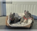Small Photo #4 French Bulldog Puppy For Sale in CLACKAMAS, OR, USA