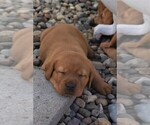 Labrador Retriever Puppy For Sale in YANKTON, SD, USA